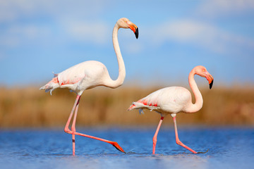 Panel Szklany Optyczne powiększenie Pair of flamingos. Bird love in blue water. Two animal, walking in lake. Pink big bird Greater Flamingo, Phoenicopterus ruber, in the water, Camargue, France. Wildlife bird behaviour, nature habitat