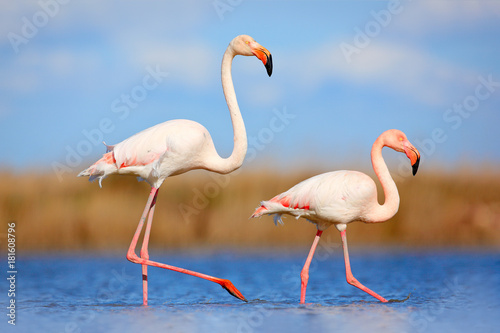 Fotobehang Flamingo Pair of flamingos. Bird love in blue water. Two animal, walking in lake. Pink big bird Greater Flamingo, Phoenicopterus ruber, in the water, Camargue, France. Wildlife bird behaviour, nature habitat