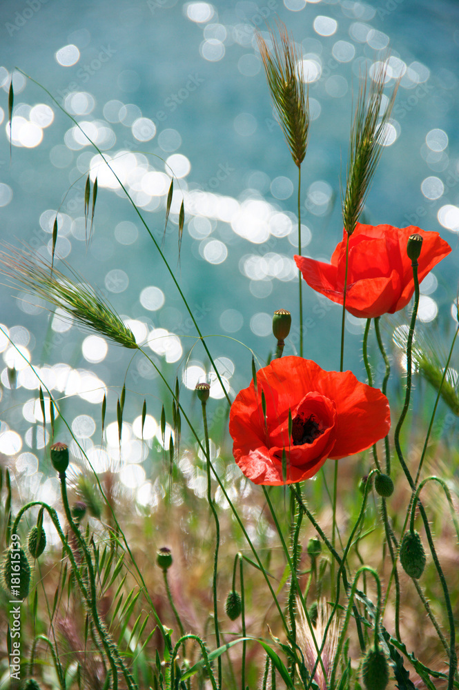 Poppy flowers against water