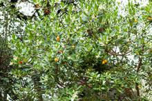 Arbutus Unedo Or Strawberry Tr...