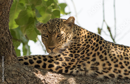 Tuinposter Luipaard African Leopard (panthera pardus) resting on a large branch in south luangwa national park, zambia
