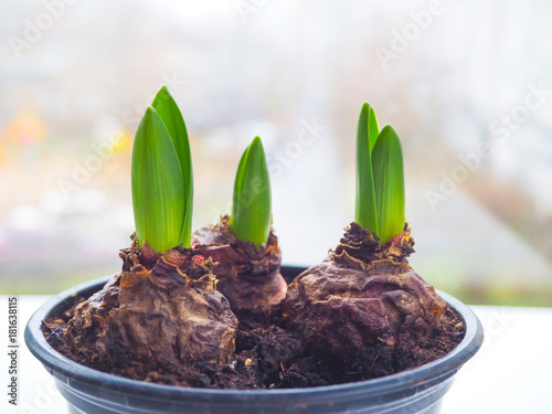 Shoots of crocuses and tulips in a pot on light background.
