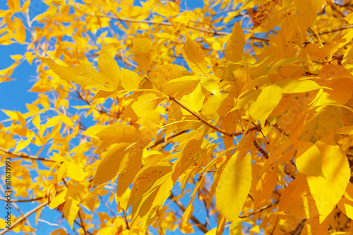 Foto op Canvas Herfst Tree with yellow leaves in sunset