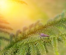 A Bug On The Pine Tree.