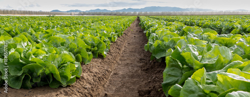 Obraz Lettuce field - fototapety do salonu