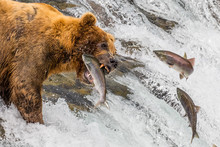 Grizzly Bear Catching Jumping ...