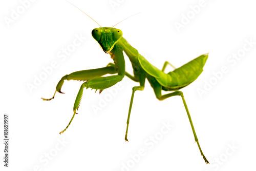 Fotografie, Obraz  Soft focus Mantis on white background.
