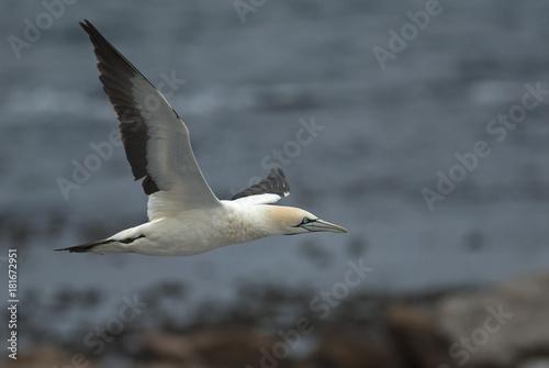 Zdjęcie XXL Cape Gannets, Morus capensis, Rezerwat przyrody Bird Island, Lambert's Bay, Republika Południowej Afryki, duże stado ptaków