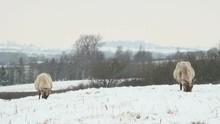Sheep In A Snowy Field