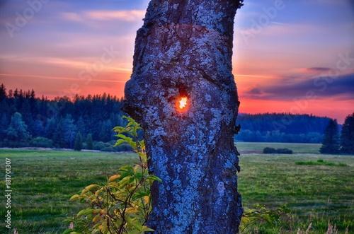 Fotografia, Obraz  Sun shining through the broad leaf tree trunk at autumn/fall evening