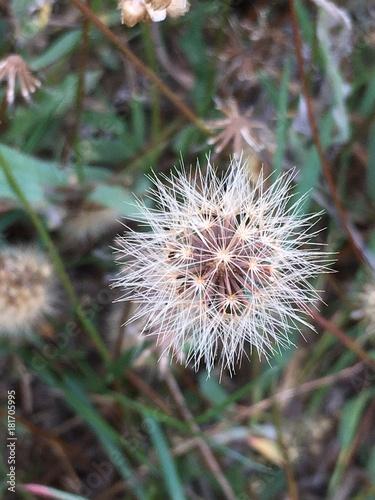 Fototapeta Życzenie, roślina, zbliżenie, nasiona, natura