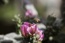 Closeup Of One Honey Bee With Pollen On It's Leg Flying Above A Pink Flower
