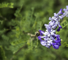 Closeup Of One Honeybee On A Mealy Blue Sage Flower