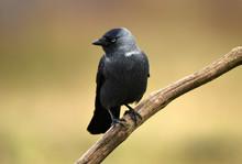 Jackdaw Crow (Corvus Monedula)