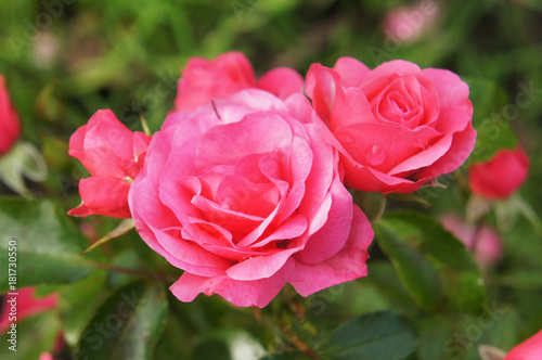 Foto  Buds of pink tea hybrid rose flowers with green
