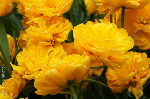 Foto op Canvas Narcis Many yellow double late tulip flowers with green