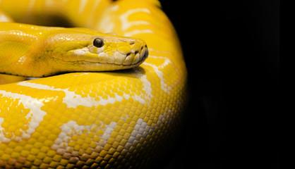 python snake black background