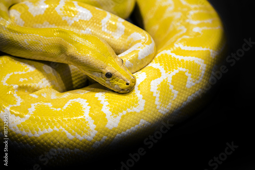python snake black background