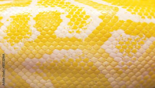 Fototapeta premium skóra węża pythona na tle