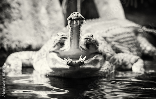 Gharial - Gavialis gangeticus with the horrible jaw, colorless