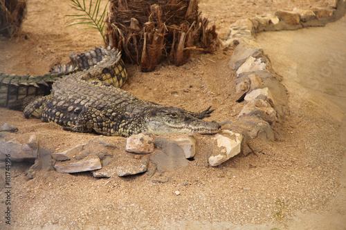Photo  Crocodile lying on the sand