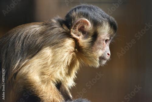 Fotografering  capuchin monkey