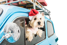 White Terrier In Car With Chri...
