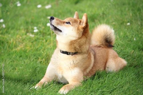 Fotografia, Obraz le chien shiba est allongé dans l'herbe et regarde en haut
