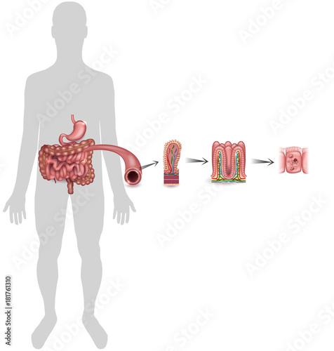 Small Intestine Lining Detailed Anatomy A Fold Of The Intestinal