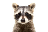 Fototapeta Zwierzęta - Portrait of a cute funny raccoon, closeup, isolated on white background