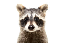 Portrait Of A Cute Funny Raccoon, Closeup, Isolated On White Background