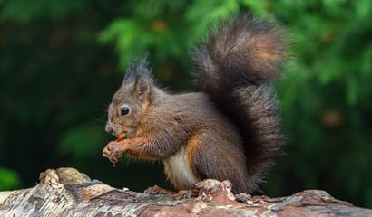 Naklejka na ściany i meble Red squirrels