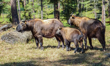 Family Of Takin, National Anim...