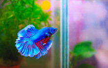 Blue And Red Of Fighting Fish ...
