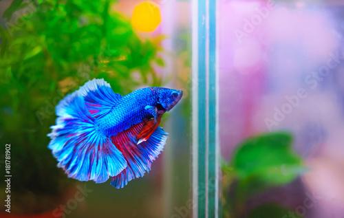 blue and red of fighting fish in aquarium Wallpaper Mural