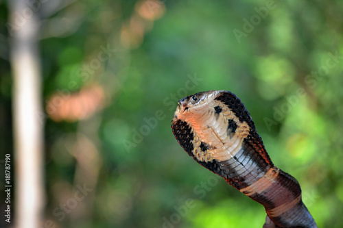 Detail of the Cobra Head on a Green Background on a Thai Island in Asia фототапет