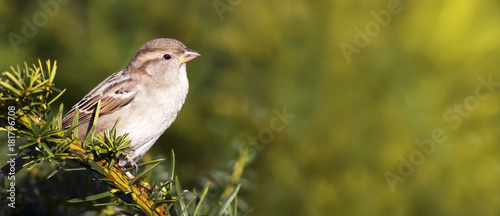 Young sparrow bird sitting on a branch - web banner with copy space Wallpaper Mural