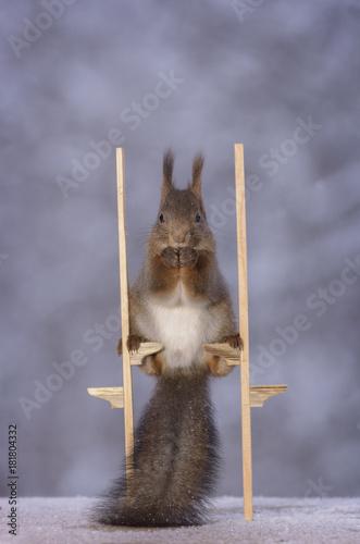 Valokuva  squirrel standing on stilts
