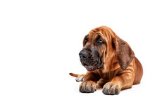 Mastiff Puppy. Brazilian Masti...