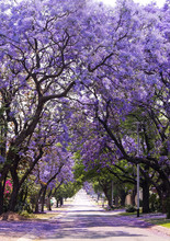 Street Of Beautiful Purple Vibrant Jacaranda In Bloom. Spring In South Africa. Pretoria.
