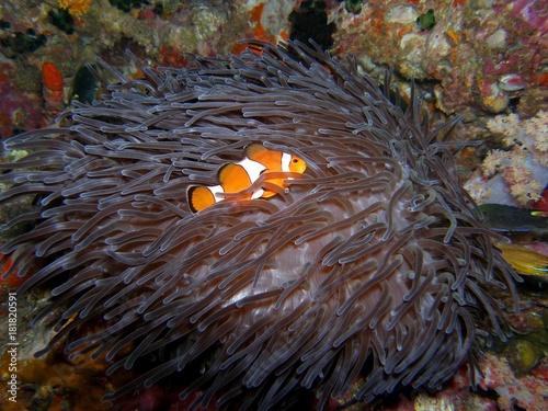 Fotografia  Ocellaris Clownfish in Anemone, Similan Islands, Andaman Sea, Thailand, Underwat