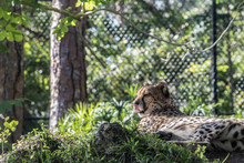 Leopard Behind A Fence At The ...