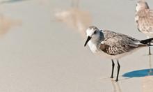 Sandling Seabirds /  Two Sandl...