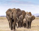 Stado słoni idących bezpośrednio w kierunku aparatu