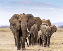 Elephant Herd Walking Directly...