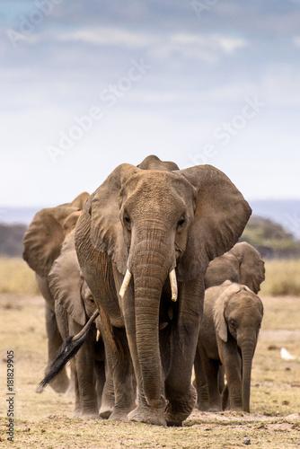 Obraz na płótnie Elephant herd walking directly toward camera