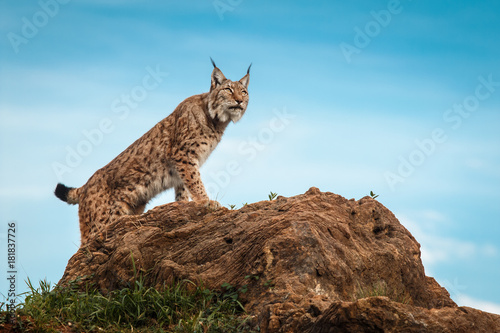 Foto op Plexiglas Lynx Lynx climbed on a stone and looking at the horizon