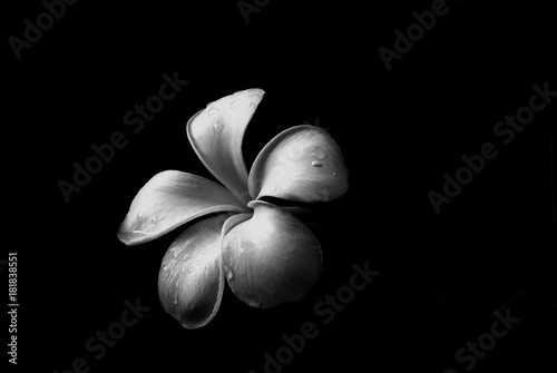 black and white frangipani flower Fototapete