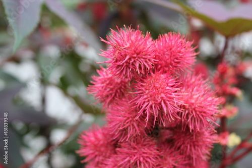 Spiky bright pink flowers in macro buy this stock photo and spiky bright pink flowers in macro mightylinksfo