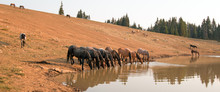 Herd Of Wild Horses Drinking A...